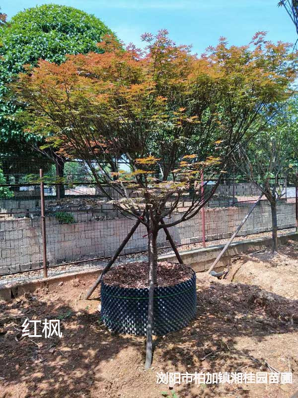 绿化苗木红枫